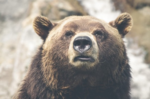 brown-bear-face_426-19314826